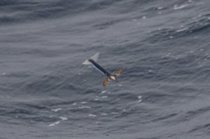 Un volante, o calamar volador sobrevolando la superficie del mar. (Fuente: Geoff Jones).