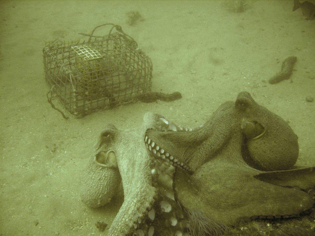 Pelea de pulpos.  Octopus vulgaris. Cefalopodos.org