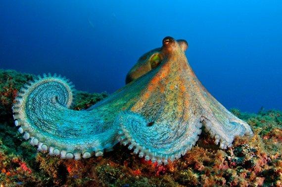 Un pulpo de roca (Octopus vulgaris) fotografiado en aguas de Portugal durante la Expedición Oceana Ranger 2011 (Autor: Carlos Minguell, Oceana).