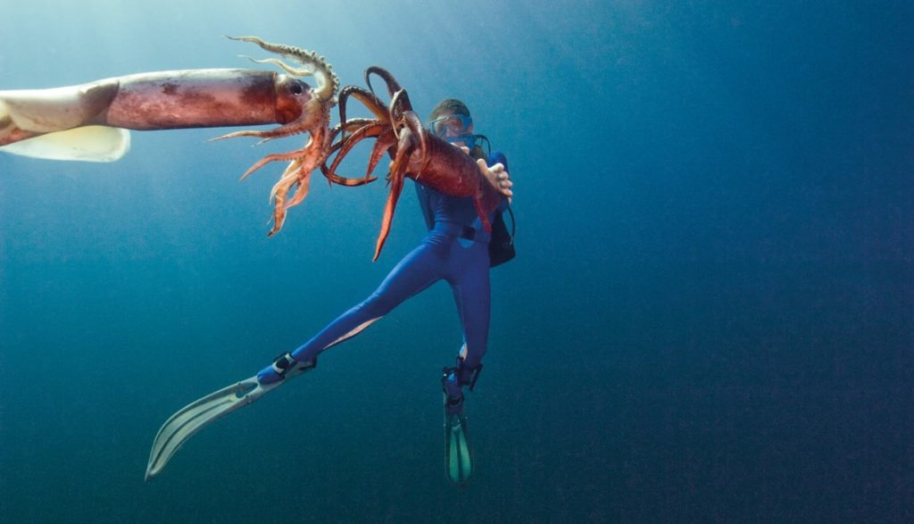 Buzo y dos Dosidicus gigas. Foto de Carrie Vonderhaar (Ocean Futures Society).
